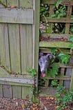 Whippet, das durch einen Zaun schaut Lizenzfreies Stockfoto