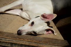 Whippet dazing in the sun. Stock Images