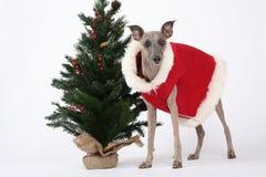 Whippet de la Navidad Imagenes de archivo