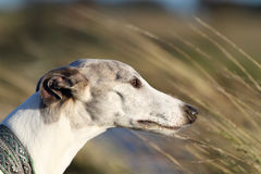 Whippet in de wind Stock Afbeelding