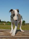 Whippet del perrito imagenes de archivo