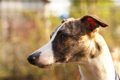 Whippet dog Stock Photo