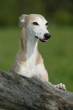 Whippet dog Royalty Free Stock Image