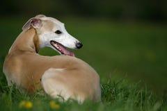 Whippet dog Stock Images