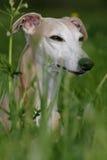 Whippet dog Royalty Free Stock Image