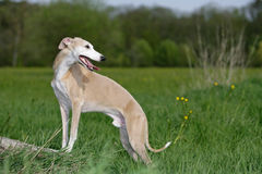 Whippet dog Stock Image