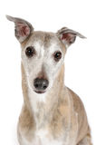 Whippet dog Stock Photos