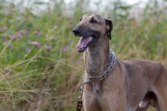 Whippet dog. In high grass Stock Image