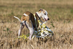 Whippet dog. In field pulls a yellow sponge Stock Image
