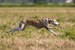 Whippet dog. Run in field Royalty Free Stock Photo