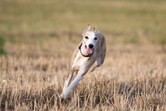 Whippet dog. Run in field Royalty Free Stock Photography
