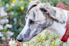 Whippet dog Royalty Free Stock Photos