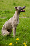 Whippet Dog Royalty Free Stock Images
