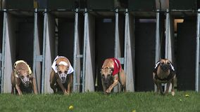 Whippet Dog, Adults standing in Box and Running during Race