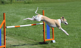 Whippet Dog. Royalty Free Stock Images