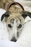 Whippet dog on bed. Brindle and white whippet relaxing on a soft white doona Royalty Free Stock Image