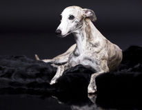 Whippet dog Royalty Free Stock Photography