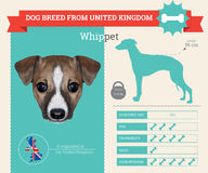 Whippet dog breed  infographics Royalty Free Stock Photos