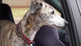 Whippet dog in car window stock video