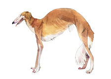 Whippet dog . Drawing watercolor Royalty Free Stock Images