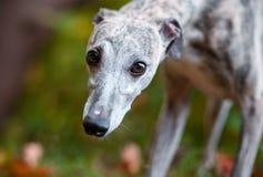 Whippet Dog Face Portrait. Eyes Royalty Free Stock Image