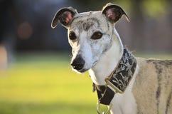 Whippet dog headshot Royalty Free Stock Image