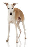 Whippet Royalty Free Stock Photos