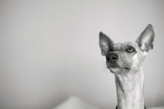 Dog listening: Whippet looking up curiously. Whippet dog looking up curiously with copy space, black and white Royalty Free Stock Photo