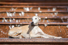 Whippet dog outdoors Royalty Free Stock Images