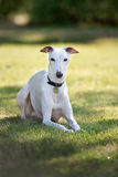 Whippet dog outdoors Stock Images