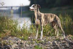 Whippet dog Stock Photos