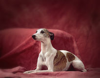 A whippet dog Royalty Free Stock Photos