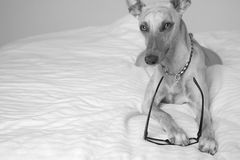 Whippet dog with reading glasses. Lying down, black and white Royalty Free Stock Photos