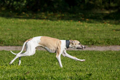 Whippet dog run in field Royalty Free Stock Photo