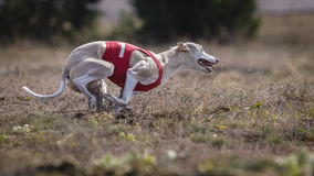 Whippet dog running. Coursing, passion and speed Stock Images