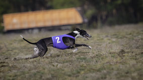 Whippet dog running. Coursing, passion and speed Royalty Free Stock Image