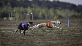 Whippet dog running. Coursing, passion and speed Royalty Free Stock Photo