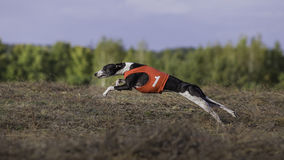 Whippet dog running. Coursing, passion and speed Stock Image