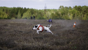 Whippet dog running. Coursing, passion and speed Stock Photos