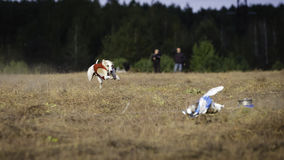Whippet dog running. Coursing, passion and speed Royalty Free Stock Photography