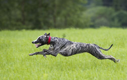 Whippet dog is running Stock Photos