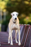 Whippet dog standing on a bench Stock Photography