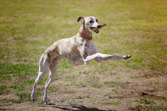Whippet dog with stick Stock Photography