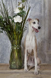 Whippet dog with a vase of flowers Stock Photography