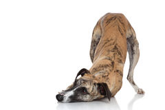 Whippet dog on a white background stock photography