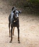 Whippet-dwarsrassenhond bij rood knopeiland, austin Texas stock fotografie