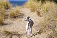 Whippet en dunes Photographie stock libre de droits