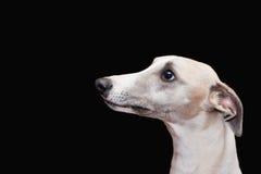 Whippet encantador aislado en fondo negro Fotografía de archivo libre de regalías