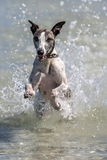 A whippet enjoys playing in the ocean at Corny Point in South Australia in Australia. Royalty Free Stock Photos