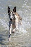 A whippet enjoys playing in the ocean at Corny Point in South Australia in Australia. Royalty Free Stock Images